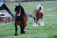 Hästarna på bete i Lien