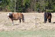 Hästarna i vårhagen