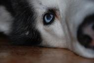 Husky-besök