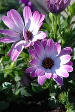 Lite blommor har vi hunnit plantera också