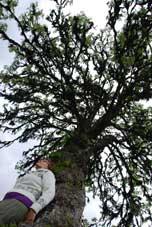 Maria och uråldrigt träd vid Gammalbuan