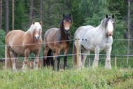 Röding med stallkompisar i Häljesund